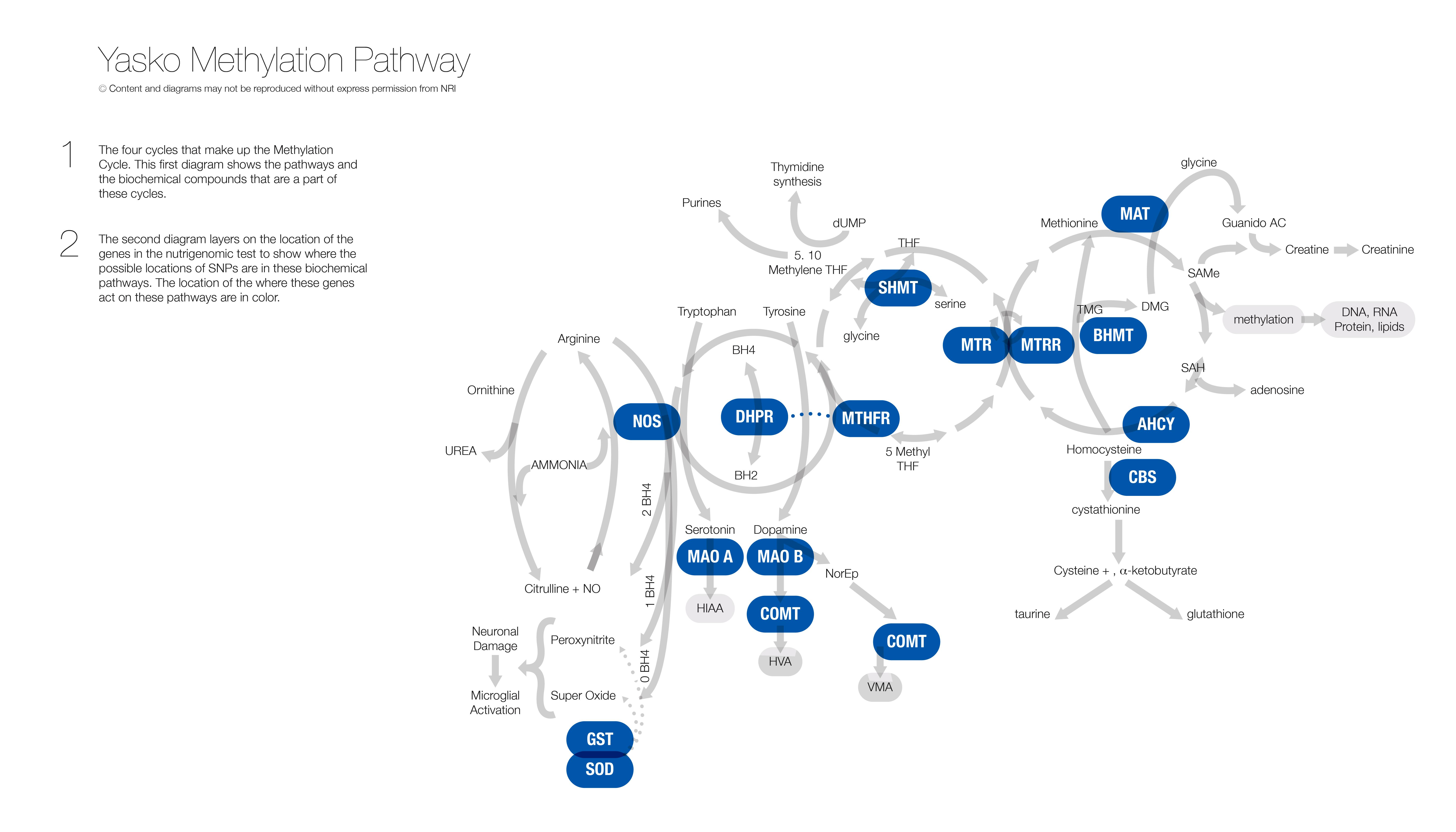 Yasko Methylation Pathway - 2