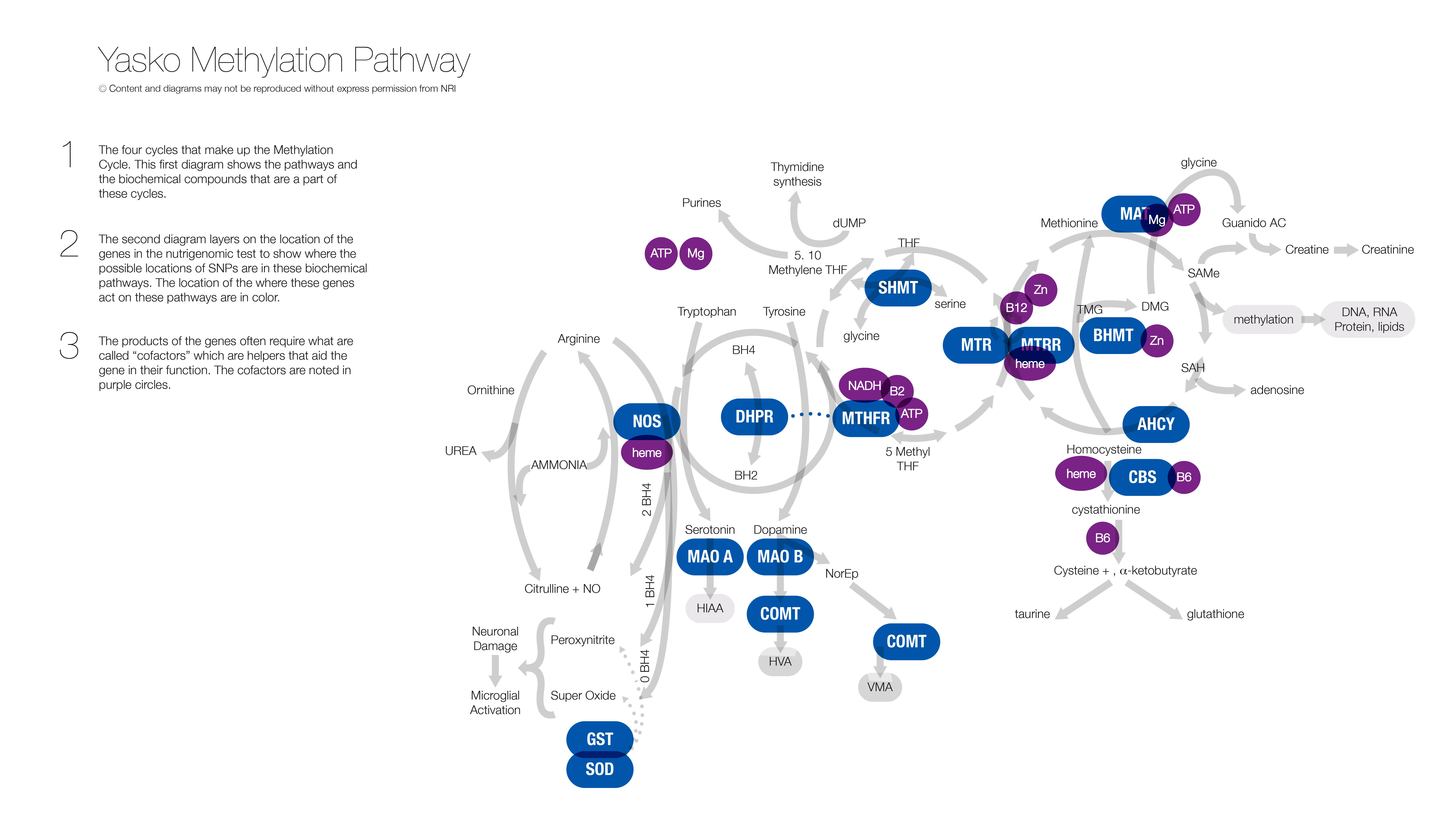 Yasko Methylation Pathway - 3
