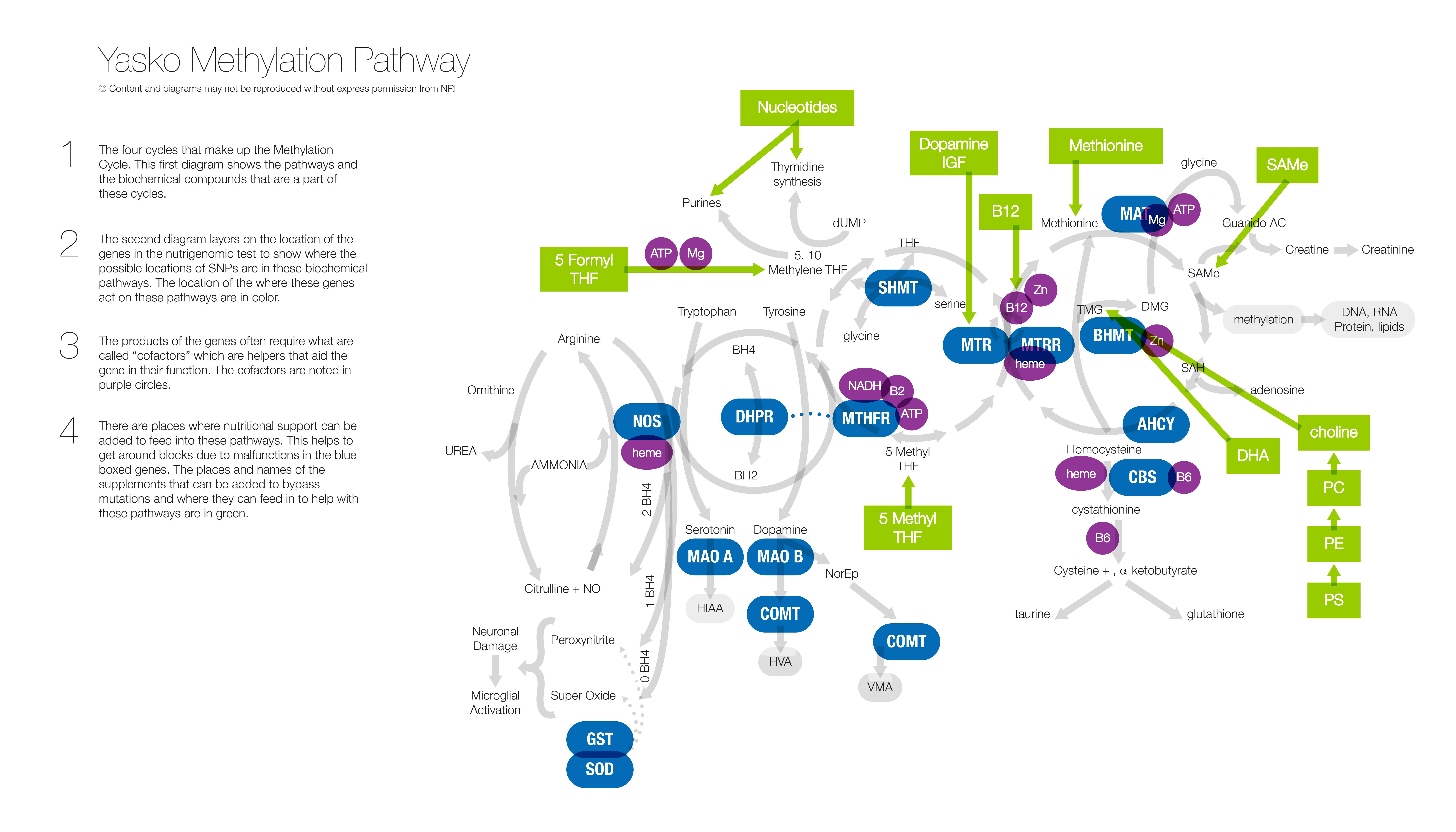 Yasko Methylation Pathway - 4