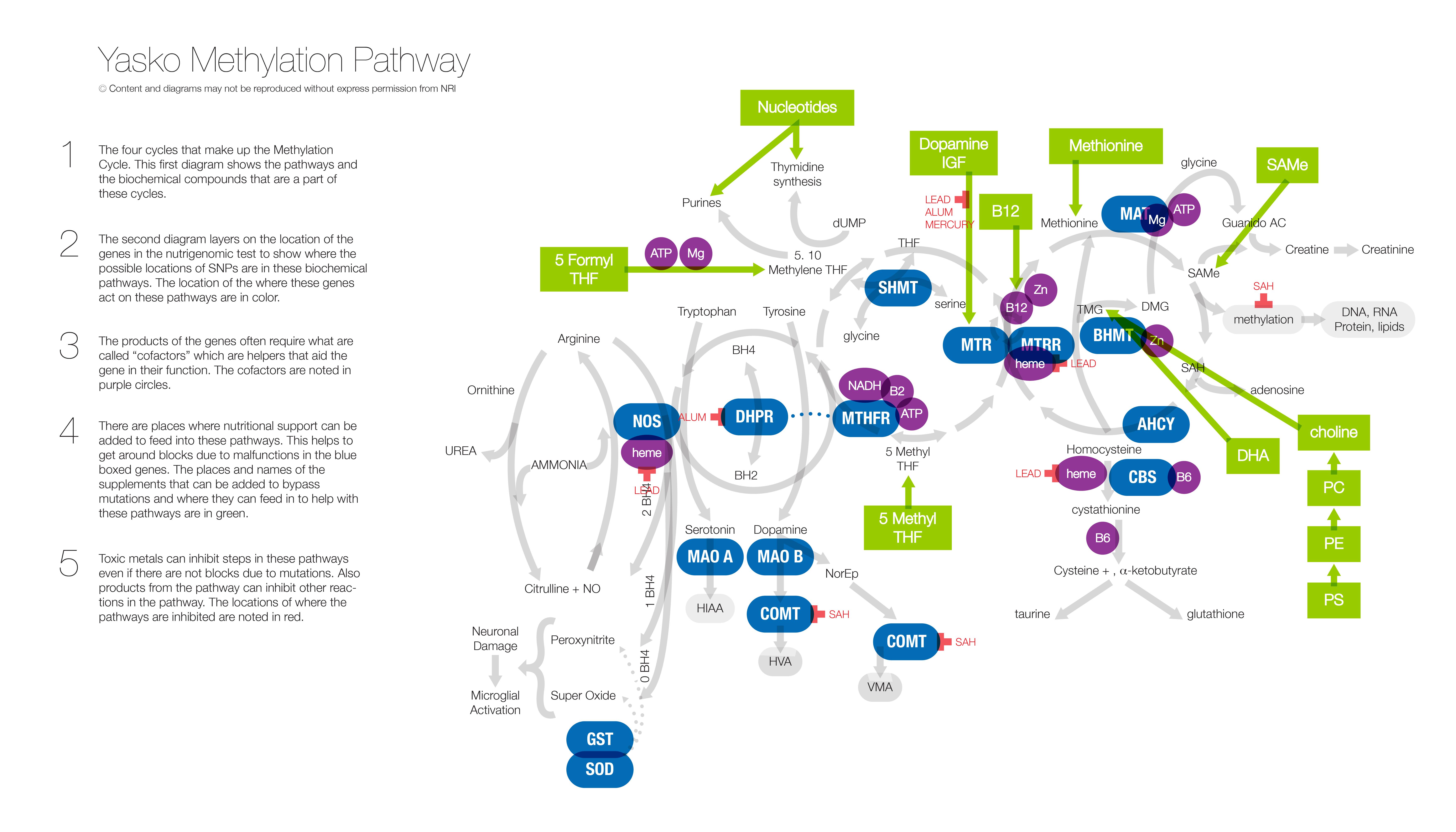 Yasko Methylation Pathway - 5