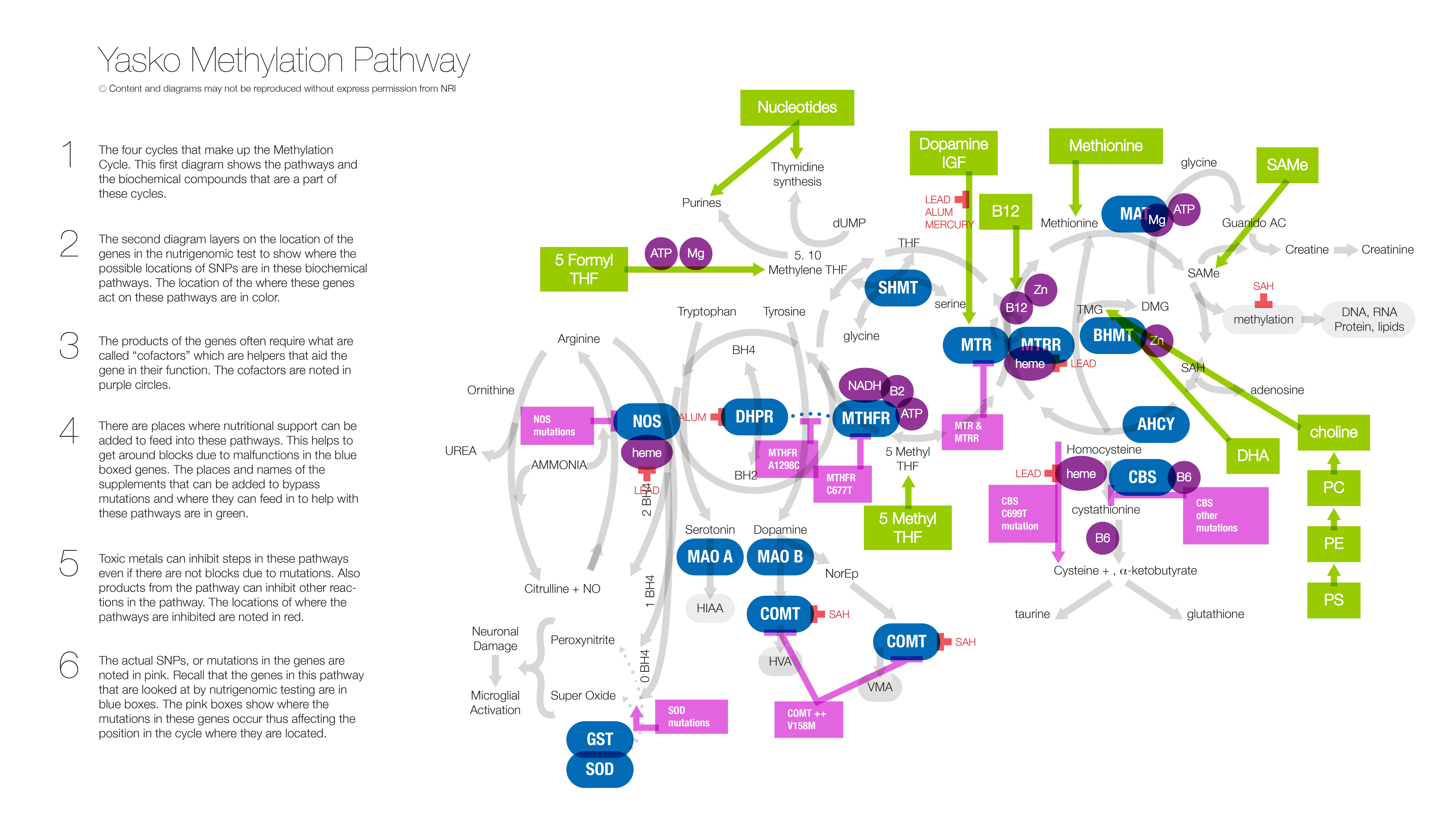 Yasko Methylation Pathway - 6